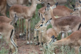 Impalas in Greater Kruger