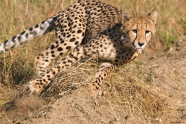 Thornybush cheetah