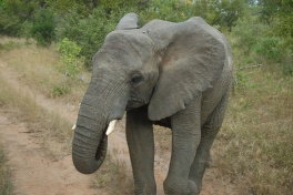 Thornybush elephant encounter