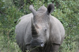 Thornybush rhino