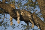 A lazy female leopard with a kink in her tail