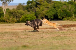 Lion pursues a buffalo, Maasai Mara