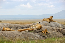 Pride of Lionesses in the Mara