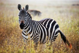 Zebra on the Mara Plains