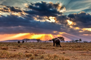 Serengeti elephant at sunset by N. Feans