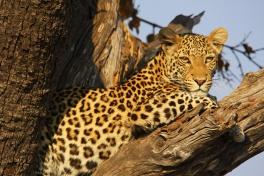 Chobe Park leopard