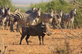 Chobe warthog and zebras