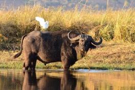 Buffalo in Chobe