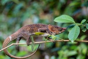 Madagascar Chameleon by nomis-simon
