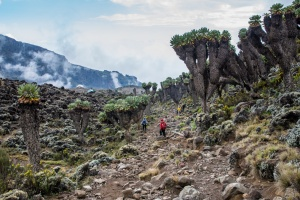 Giant groundsel on the way up Kilimanjaro