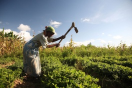 Khulungira - elderly lady farming groundnuts in a Central Malawian village